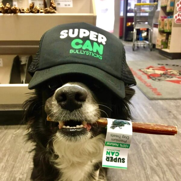 dog holding a supercan bully stick